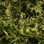 Dygliavaisis virkštenis mėgsta išsikeroti pakrantės augalijoje