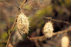 Dygliavaisis virkštenis savo sėklas iššaudo