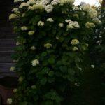 Hortenzijos krūmas