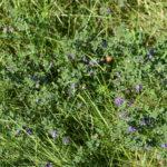 Mėlynžiedė liucerna pievoje