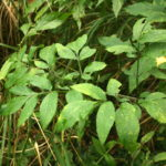 Miškinio skudučio pamatiniai lapai