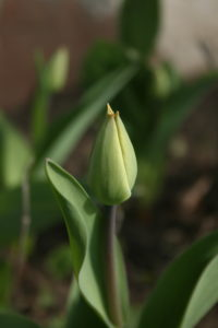 Neišsiskleidęs tulpės žiedas