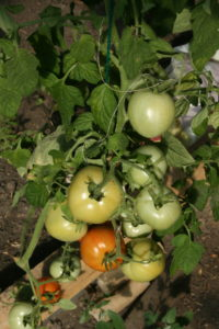 Noksta pomidorai