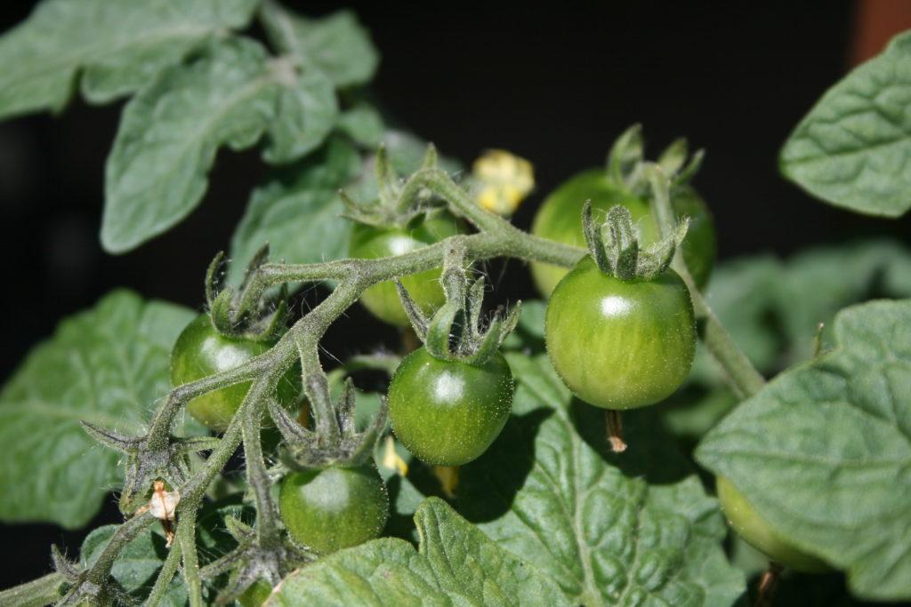 Paprastasis pomidoras