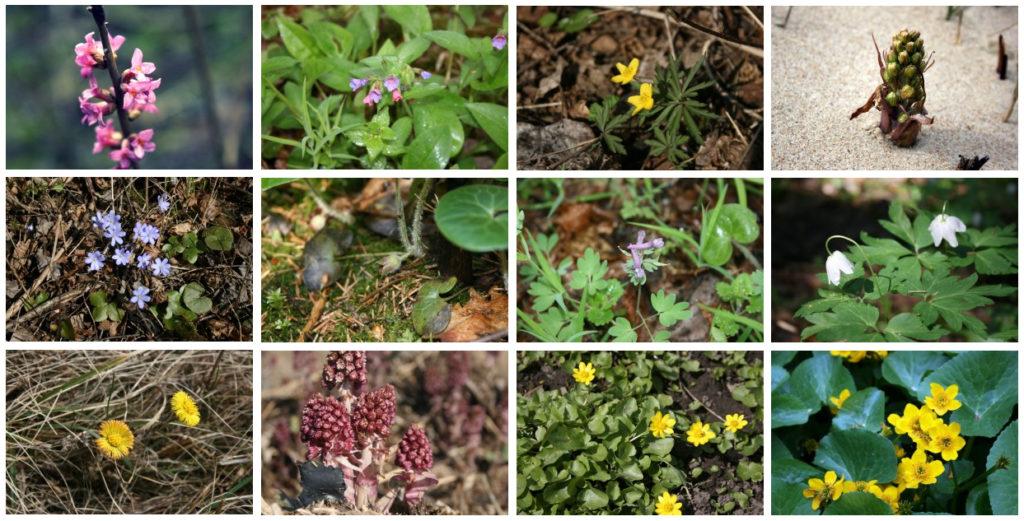 pavasario-augalai