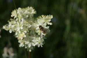 Pievinės vingiorykštės žiedai su vabzdžiais