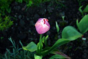 Tulpės žiedas