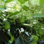 Vandens telkinių pakrantėse kaba dygliavaisio virkštenio vaisiai
