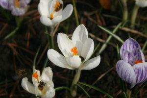 Pavasariniai krokai