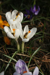 Pavasarinius krokus labai noriai lanko bitės ir kamanės