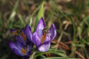 Žydi pavasariniai krokai