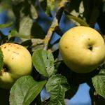 """""""Antaniniai"""" obuoliai"""