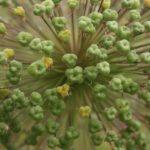 Didžiojo česnako sėklos