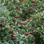 Noksta obuoliai