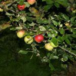 Obuoliai naktį