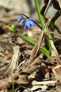 Bitė ir boružė lanko scylės žiedą