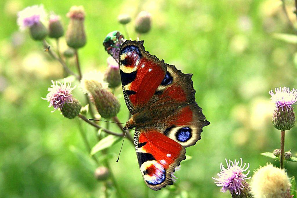 drugelius-priviliojantys-augalai