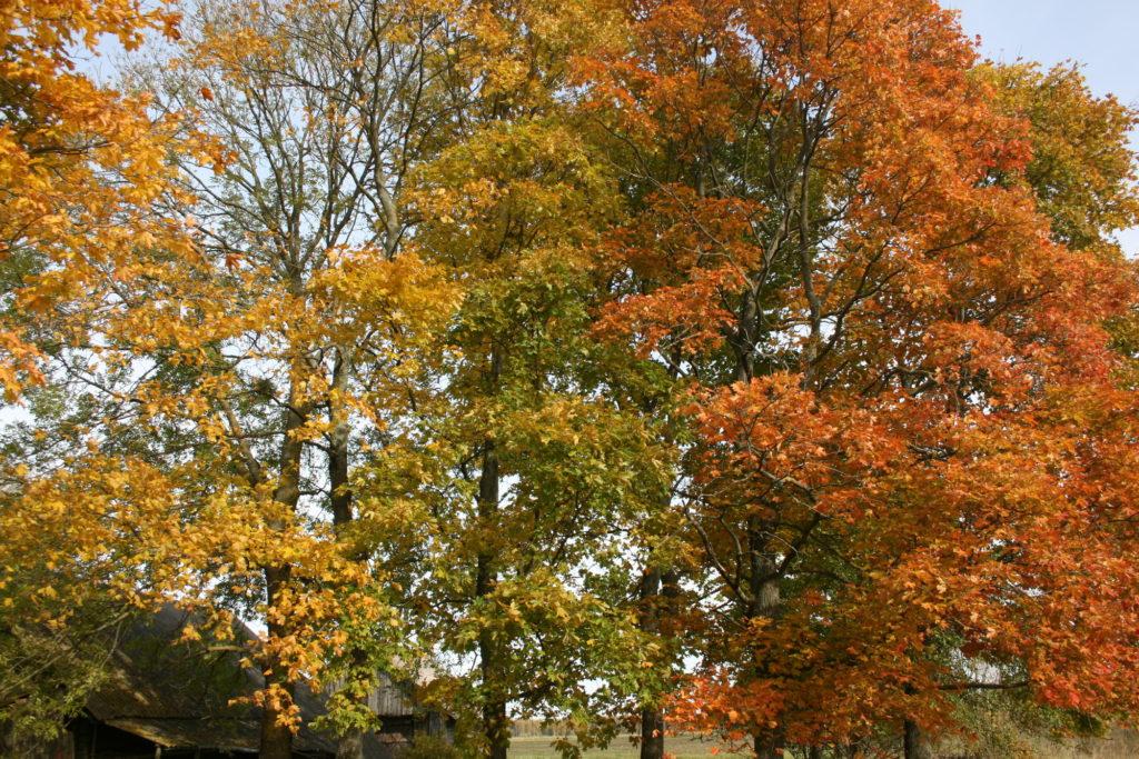 Rudenį medžiai keičia lapų spalvą