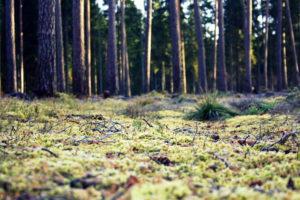 Miško paklotė samanota