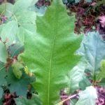 Raudonojo ąžuolo lapas