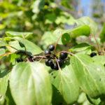 Dygiosios šunobelės vaisiai