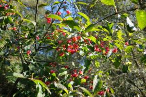 Europinio ožekšnio vaisiai