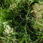 Nepažintas salierinių augalas