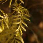 Bitkrėslės lapai