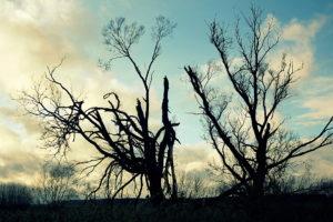 Medžių siluetai