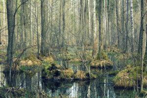 Užpelkėjęs miškas pavasarį