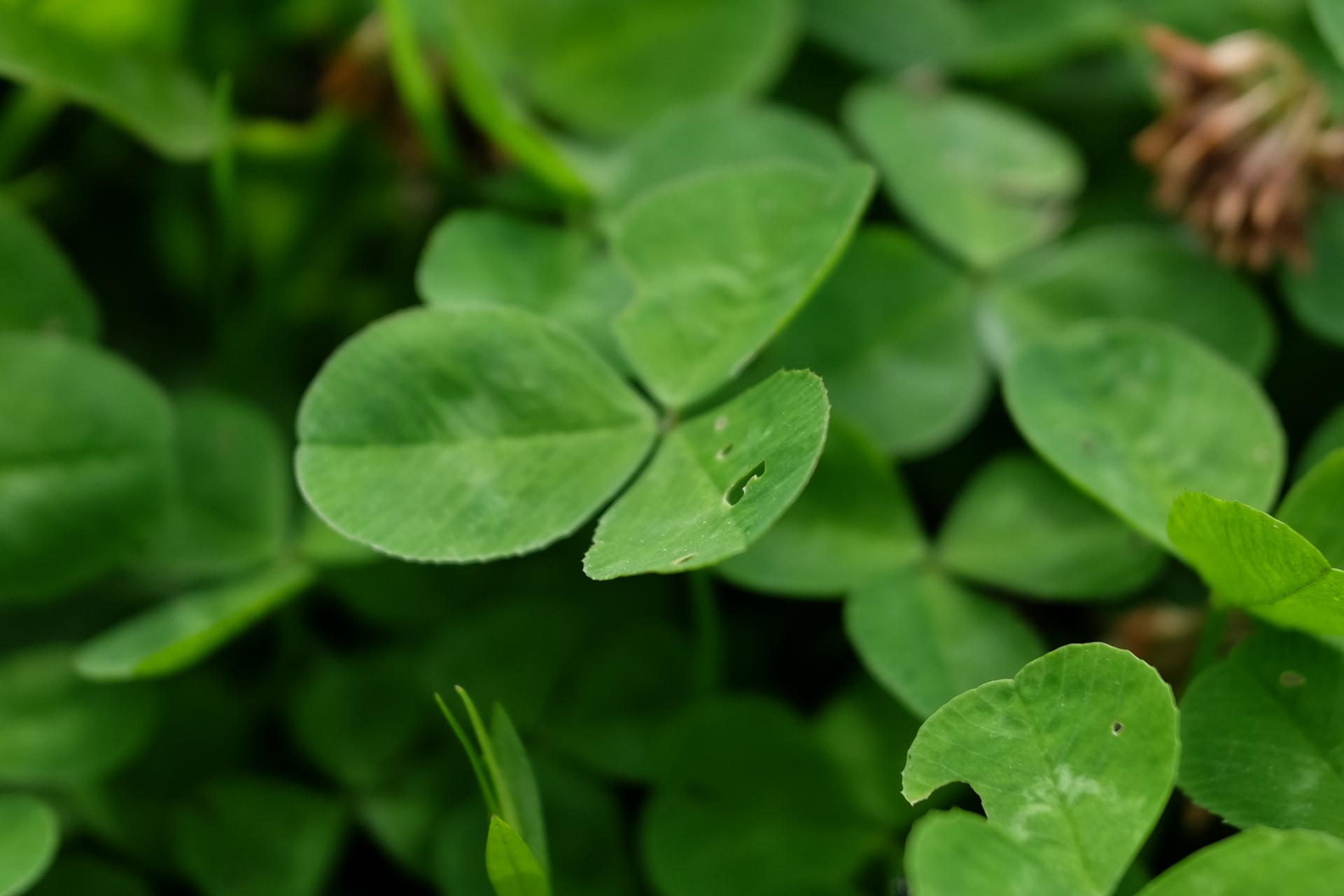 Dobilas, baltasis (lot. Trifolium repens L.) « Gamtininkas.lt