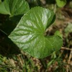 Dryžuotosios našlaitės lapas