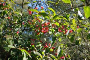 Europinis ožekšnis brandina vaisius