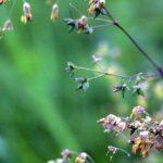 Mažojo vingirio sėklos