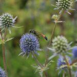 Plokščialapės zundos žiedus lanko vabzdžiai