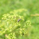 Sibirinio barščio žiedus lanko vabzdžiai