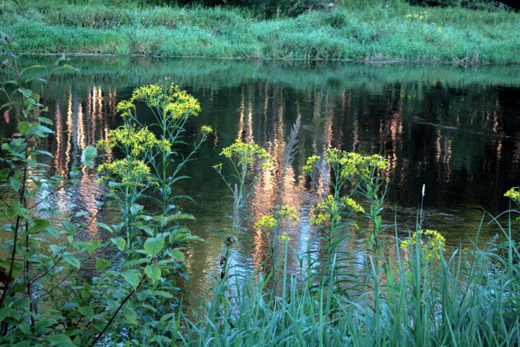 Upinė žilė augimvietėje