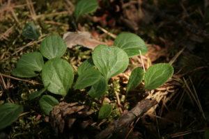 Žaliažiedės kriaušlapės lapai