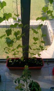 Afrikiniai agurkai auga balkone