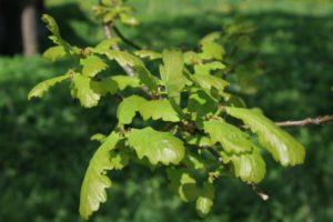Ąžuolo lapai pavasarį