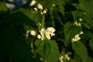Baltažiedė notrelė