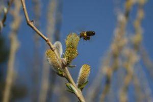 Bitė renka žiedadulkes