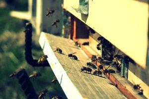 Bitės jau įtemptai dirba