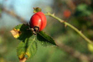 Erškėčio vaisius