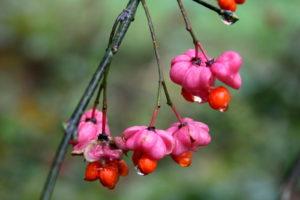 Europinio ožekšnio vaisiai po lietaus