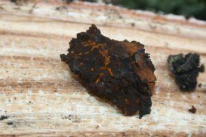 Gabalėlis juodojo beržo grybo