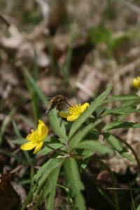 Geltonžiedė plukė lankoma vabzdžių