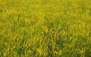 Geltonžiedžio barkūno laukas