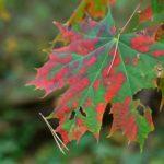 Gražiai spalvą keičiantis lapas
