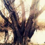 Medis su daug kamienų